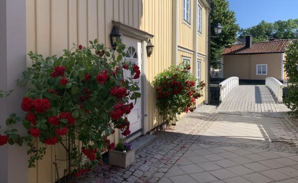Foto av klätterros mot gul fasad i Norrtälje.